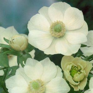 Garten-Anemone 'The Bride' - 15 Stück