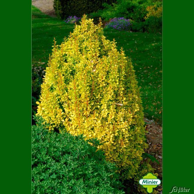 Gelbe Säulen-Berberitze 'Golden Torch'