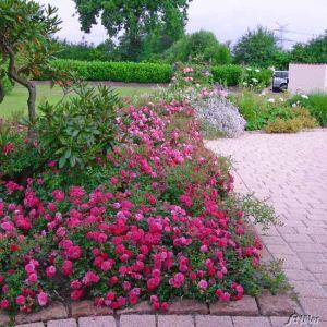 Bodendeckerrose 'Knirps®' ADR-Rose