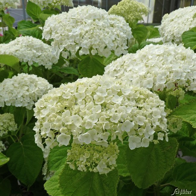 Hortensie Strong Annabelle  Incrediball  Hydrangea