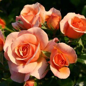 Beetrose 'Aprikola®' - ADR-Rose