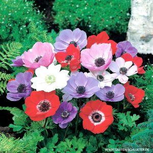 Garten-Anemone 'De Caen' - Mischung - 15 Stück