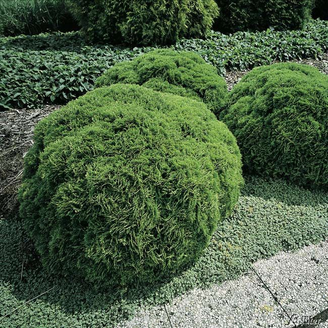 Kugel-Lebensbaum 'Danica'