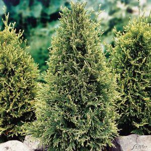 Goldspitzen-Lebensbaum 'Can Can'