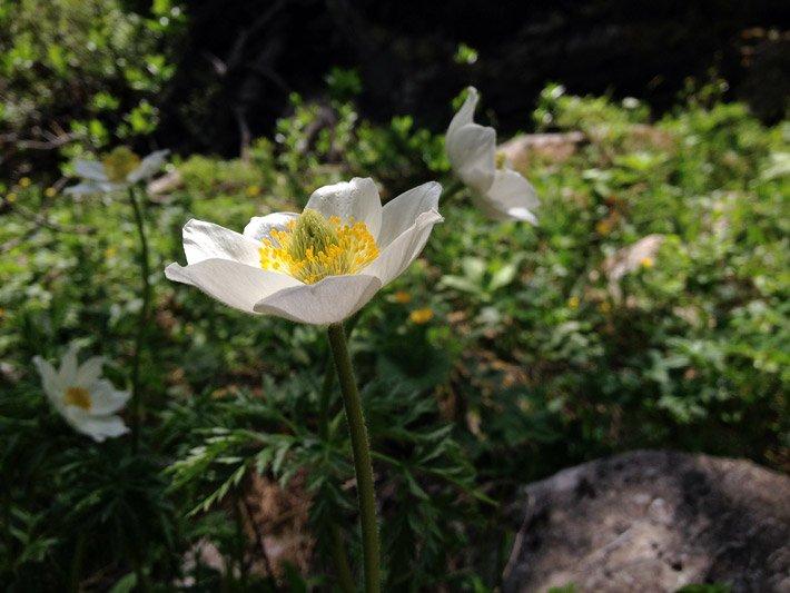 Glocken und Trichterblumen Becherblumen
