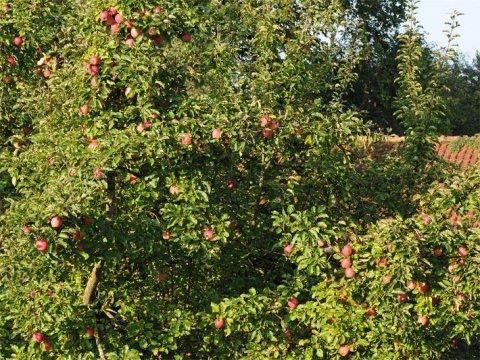 gartengestaltung obstbäume obstbäume -obstbaumarten