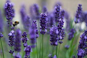 Lavendel Im Garten Tipps Zum Pflegen Und Schneiden