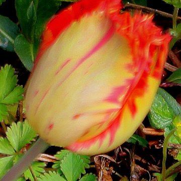 Fransenbltige Tulpen  Tulpen  Garten Wissen