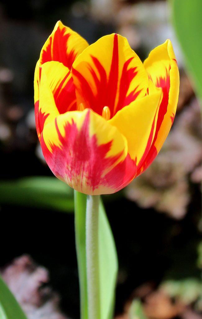 RembrandtTulpen  Tulpen  Garten Wissen