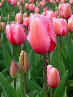 Wie bleiben Tulpen frisch  gartench