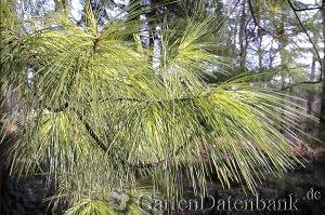 Weymouthskiefer Pinus strobus Schneiden Pflege Pflanzen