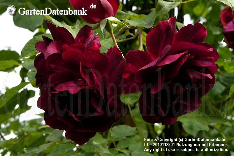 Schwarze Pflanzen schwarze Blumen Blten  schwarze Rosen