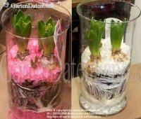 Hyazinthe im Topf + im Glas, Pflege, Tipps und Bilder