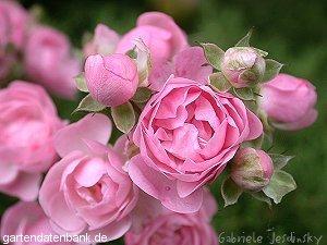 Rosenfotos Rosen Bilder