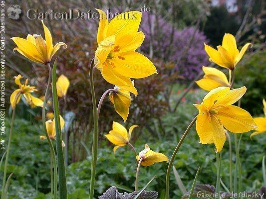 Bild Wilde Tulpe Weinbergtulpe Waldtulpe Tulipa