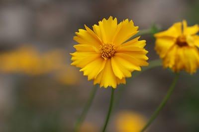 Mdchenauge Coreopsis  Pflege Schneiden und berwintern  Gartendialogde