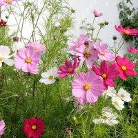 Einjährige Sommerblumen