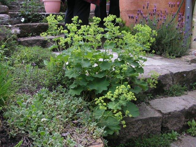 Frauenmantel Staude Alchemilla mollis Pflanze Weicher
