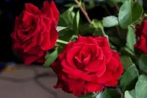 Blumen und ihre Bedeutung Das HanakotobaLexikon