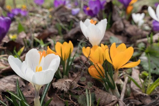 Fruehling-im-Garten-03-2018_DSCF7171_1