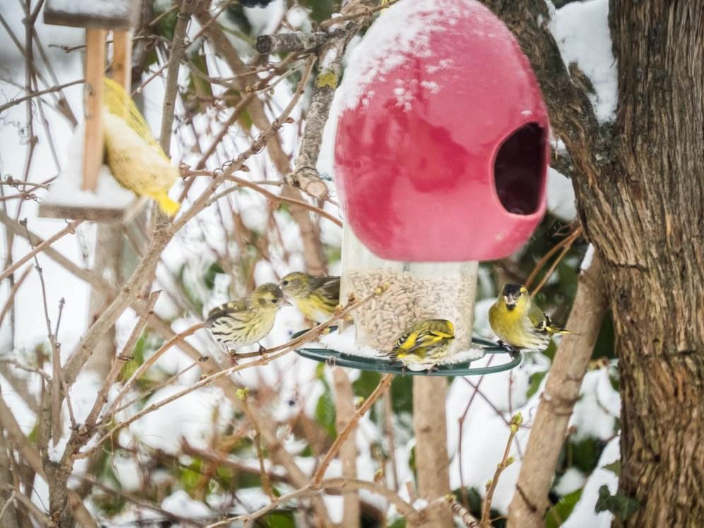 OLYMPUS Vogelparade-Wintereinbruch-Burgenland CAMERA