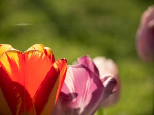 Tulpe blüht