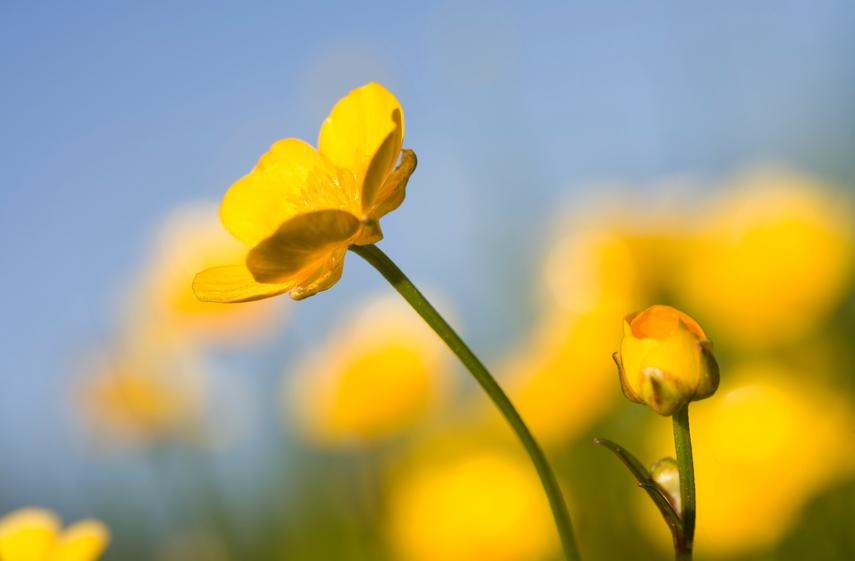 Butterblume  Pflanzen pflegen vermehren und mehr