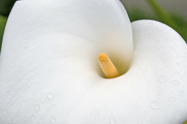 Calla Blume Pflege calla zimmercalla zantedeschia aethiopica pflege anleitung calla pflegen