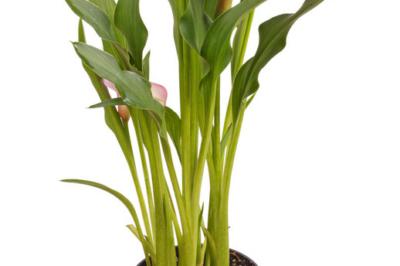 Die Calla als Zimmerpflanze  Pflegetipps