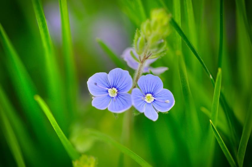 Ehrenpreis  Pflanzen Pflegen Vermehren und mehr