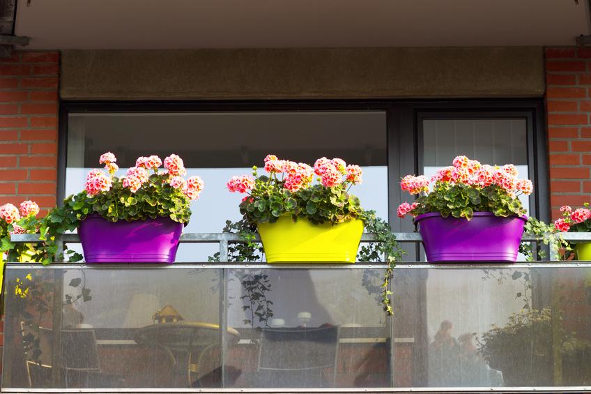 Geranien auf dem Balkon  Pflanzen und pflegen