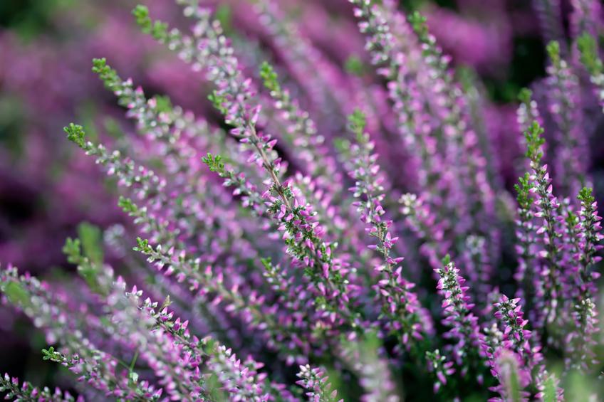 Heidekraut Erika  Pflanzen pflegen vermehren und mehr