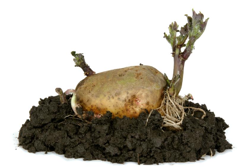 Kartoffeln pflanzen  Antworten auf alle Fragen