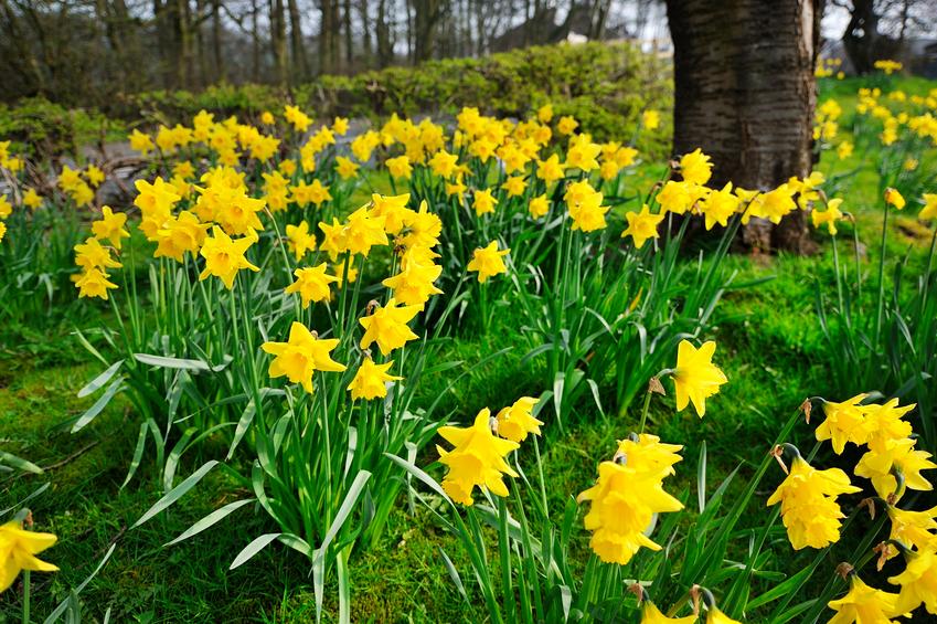 Tulpen Narzissen Pflanzen