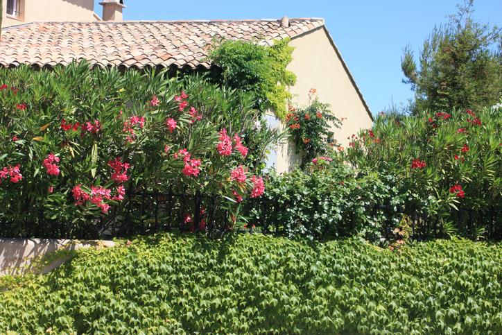 Der Oleander Im Steckbrief Das Wichtigste Auf Einen Blick