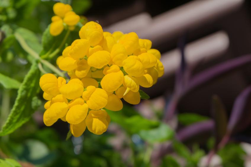 Pantoffelblume  Winterhart oder frostempfindlich