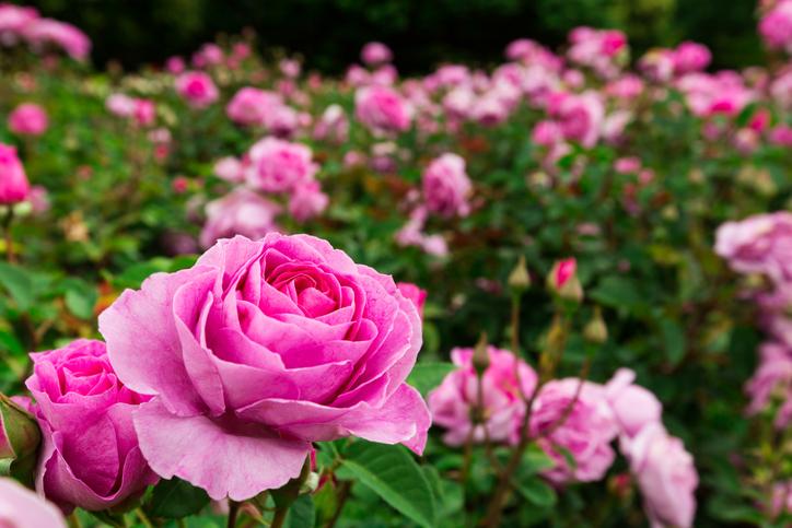 Rosen  Wann ist Bltezeit