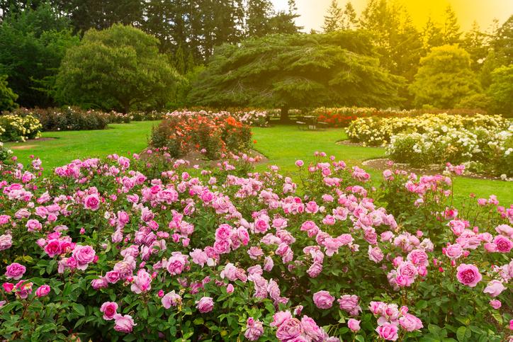 Rosen im Garten  Welche Sorten eignen sich das Gartenbeet