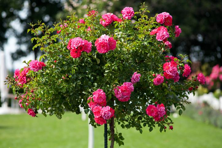 Rosenbumchen  Pflanzen und pflegen