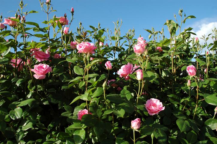 Rosenhecke  Sorten Pflege und mehr