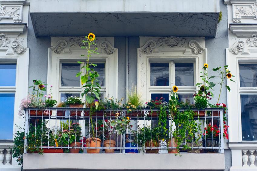 Sonnenblume auf dem Balkon halten  So klappts