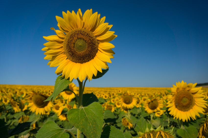 Sonnenblume Winterhart