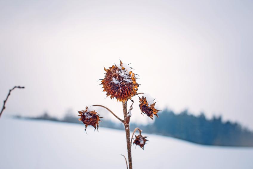 Sonnenblumen  Sind sie winterhart