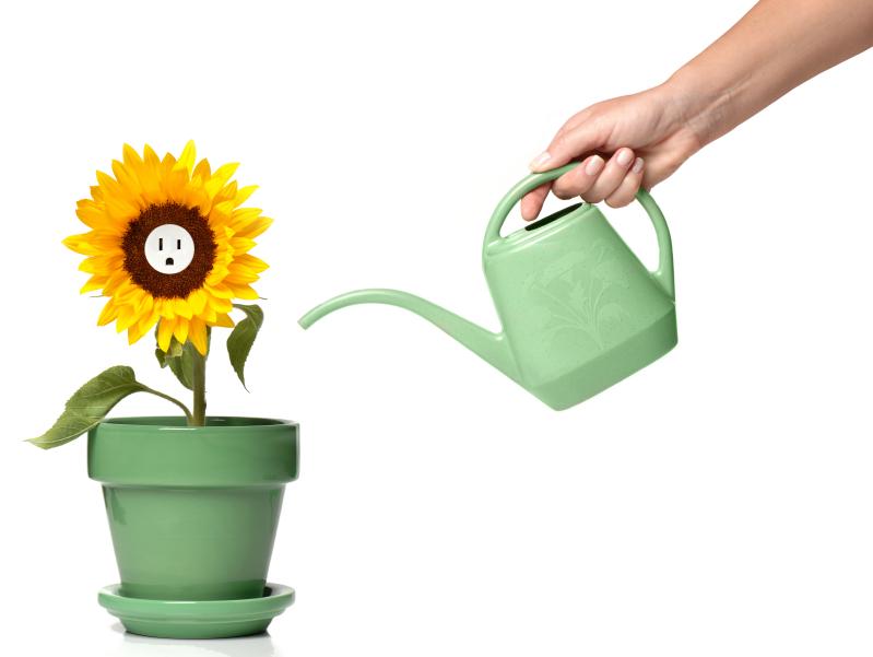 Sonnenblumen im Topf pflegen  So gedeihen sie bestens