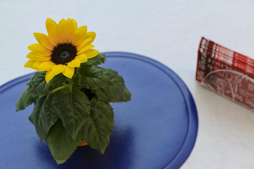 Sonnenblume im Topf ziehen  So gelingts