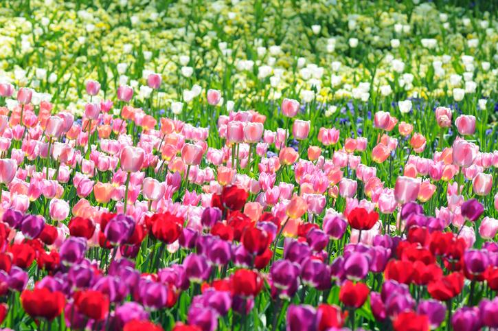 Tulpen  Wann ist Bltezeit