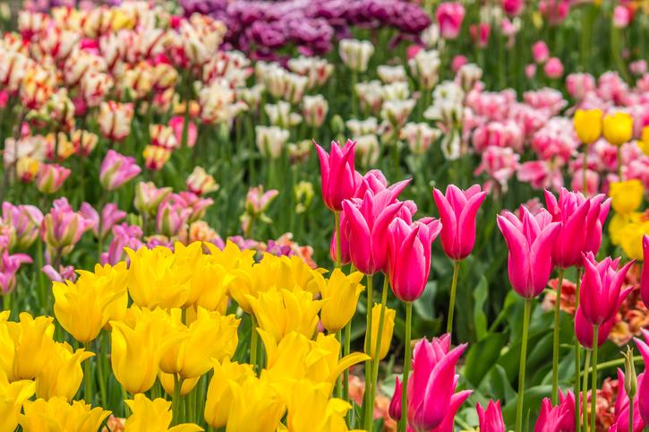 Tulpensorten  Die schnsten im berblick