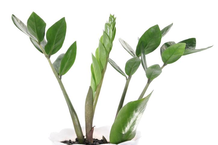 Zamioculcas teilen  So vermehren Sie sie ganz einfach