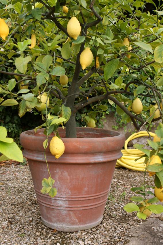 ZitronenbaumPflege  Die wichtigsten Pflegetipps von A bis Z