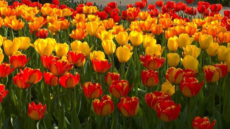 Tulpe  Video Pflegehinweise Grtnertipps und weitere